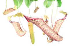 Nepenthes (Miranda) Royalty Free Stock Photo