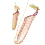 Nepenthes (Miranda) Stock Photos