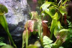 Nepenthes mojado en invernadero Imagen de archivo libre de regalías