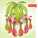 Nepenthes or monkey-cup in the round flowerpot on the light green background. Illustrated series of carnivorous plants Royalty Free Stock Image