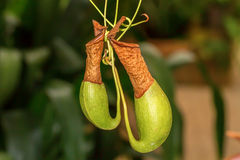 Nepenthes (monkey cups). In botanical park north of Thailand Royalty Free Stock Photography