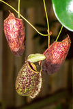 Nepenthes (monkey cups). Insect trap Royalty Free Stock Photography