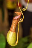 Nepenthes (monkey cups). Insect trap Royalty Free Stock Photo