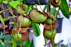 Nepenthes or Monkey Cups Royalty Free Stock Photo
