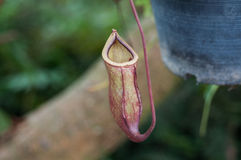Nepenthes or Monkey Cups Stock Image