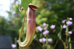 Nepenthes-oder Affe-Schalen Lizenzfreie Stockfotografie