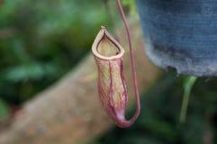 Nepenthes-oder Affe-Schalen Stockbild