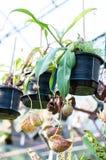 Nepenthes-oder Affe-Schalen Lizenzfreie Stockfotos