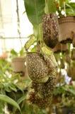 Nepenthes (piante di lanciatore tropicale o tazze della scimmia) Immagine Stock Libera da Diritti