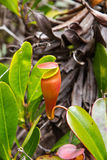 Nepenthes, Picher plants, carnivorous plants Royalty Free Stock Photo