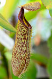 Nepenthes plant Royalty Free Stock Image