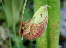 Nepenthes Royalty Free Stock Photo
