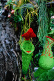 Nepenthes plant in green and red colour Stock Images