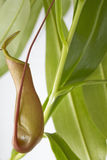 Nepenthes plant Royalty Free Stock Images