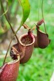 Nepenthes, plantas de jarra tropical, tazas del mono Foto de archivo