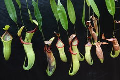 Nepenthes. The representative of the carnivorous plants that catches and digests animal Royalty Free Stock Photography