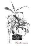 Nepenthes robusta, botanical vintage engraving Royalty Free Stock Images