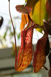 Nepenthes 'Rokko' Pitcher, Nepenthes thorelii x N. maxima Royalty Free Stock Photography