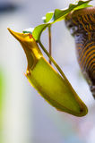 Nepenthes species Royalty Free Stock Photo