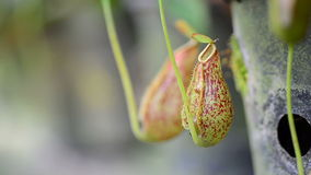 Nepenthes stock video footage
