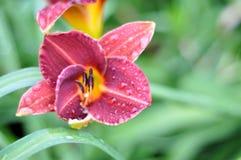Nepenthes, Taglilien, Taglilie, ZhenHua Jin, Blumen, Blumen, Zierpflanzen, Fr?hling, st?dtisches Gr?nen, Blumen, Anlagen, natur stockbilder