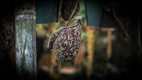 Nepenthes in Thailand Royalty-vrije Stock Foto