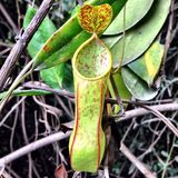 Nepenthes tobaica Stock Photography