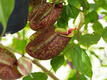 Nepenthes tropical carnivore plant Stock Photo