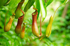 Nepenthes tropical carnivore plant Royalty Free Stock Photography