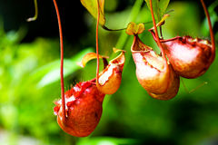 Nepenthes tropical carnivore plant Stock Photography