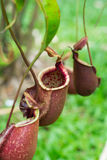 Nepenthes,tropical pitcher plants,monkey cups Stock Photo