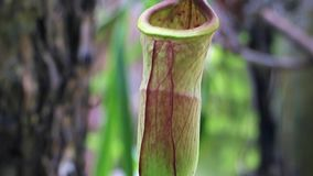 Nepenthes, Tropical pitcher plants and monkey cups stock video