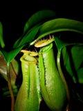 Nepenthes - una planta de jarra Fotografía de archivo