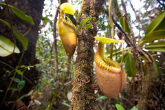 Nepenthes villosa also known as monkey pitcher plant Royalty Free Stock Photos