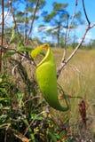 Nepenthes& x28; tropikalnego miotacza rośliny x29 lub małpi cups&; przy Thung Non synem Obrazy Royalty Free