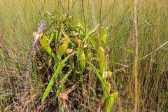 Nepenthestropical miotacza rośliny lub małpie filiżanki przy Thung Non synem Zdjęcie Stock