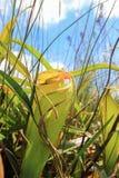 Nepenthestropical miotacza rośliny lub małpie filiżanki przy Thung Non synem Obraz Royalty Free