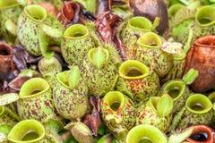 nepenthesväxt, apakoppar Royaltyfria Bilder