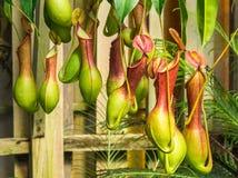 Nepenthesventrata, een vleesetende installatie Royalty-vrije Stock Foto's