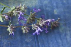 Nepeta. Cat mint rests on an old textured blue surface Royalty Free Stock Photography