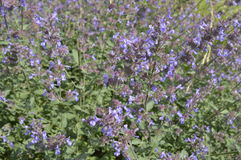 Nepeta. Called catmint with long blue flowers Stock Images