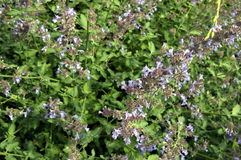 Nepeta. Called catmint with long blue flowers Stock Image