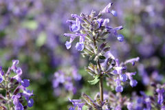Nepeta (catmint) Royalty Free Stock Image