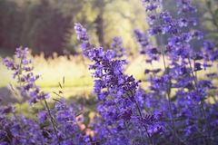Nepeta, catnip flower stock photo