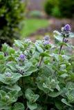 Nepeta faassenii Catnip. Catnip flowers Nepeta  in the garden Stock Images