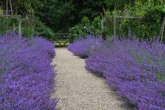 Nepeta, Tintinhull ogród, Somerset, Anglia, UK fotografia royalty free
