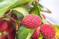 Nephelium hypoleucum Kurz, Korlan-Frucht, ein Verwandter von Lichy Lizenzfreie Stockfotos