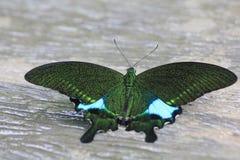 Nephelus noir et brun de Papilio d'espèce de guindineau Images libres de droits