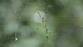 Nephila clavata Royalty Free Stock Photography