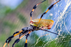 Nephila Clavipes Stockbild